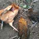 Poules mortes