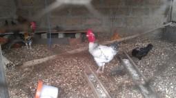 Poulets locaux