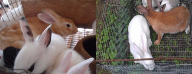 cage et lapins