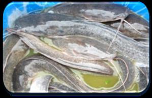 Des poissons-Chat