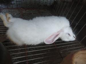 Un lapin mort de la VHD