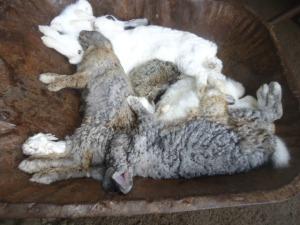 Des lapins morts de la VHD mis dans une brouette