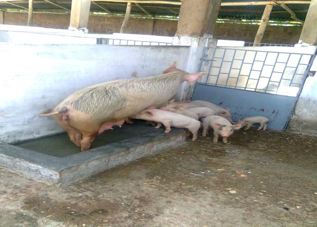 habitat porcs