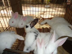 Des lapins en cage