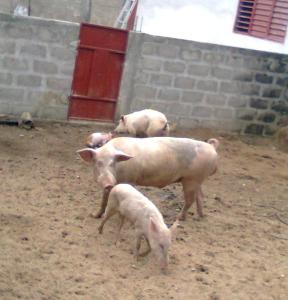 porc sur la cour