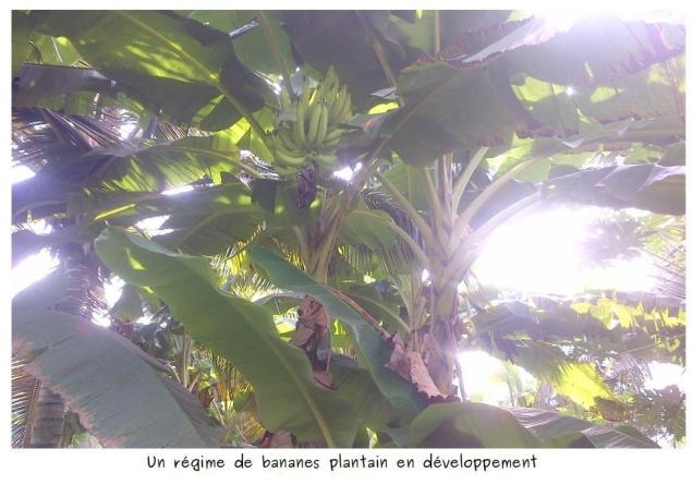 banane-plantain-en-devlp.jpg