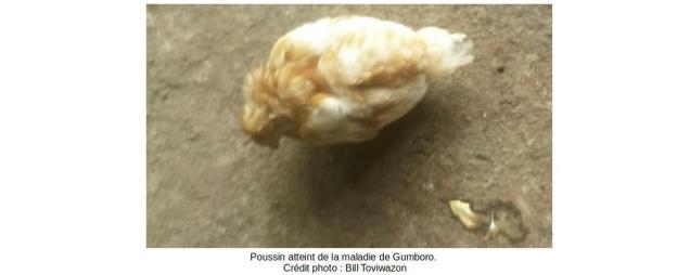 poussin_gumboro
