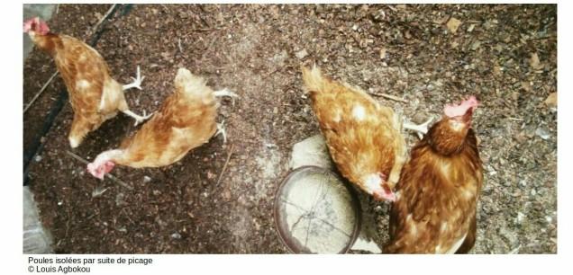 Poules isolées par suite de picage